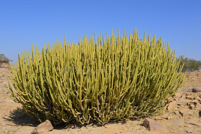 Cactus en el desierto de Thar fotos de archivo