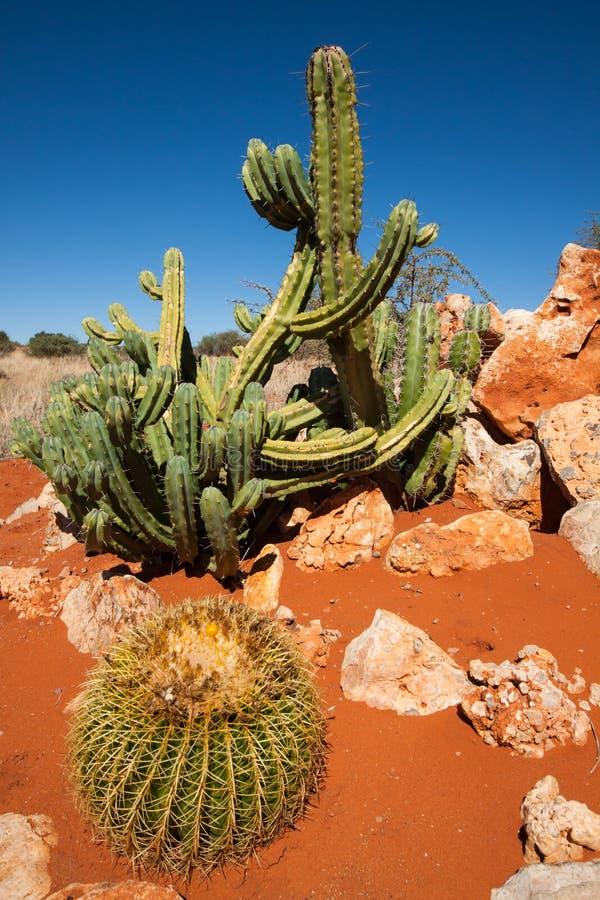 Cactus en el Kalahari imagen de archivo libre de regalías