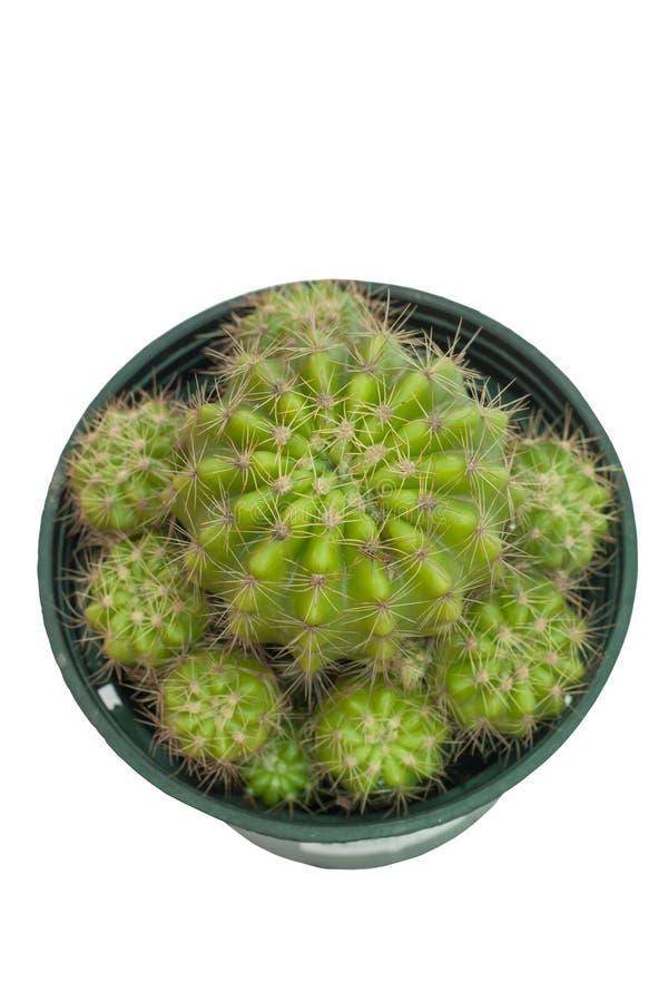 Cactus en el pote plástico negro aislado en el fondo blanco con la trayectoria de recortes imagen de archivo