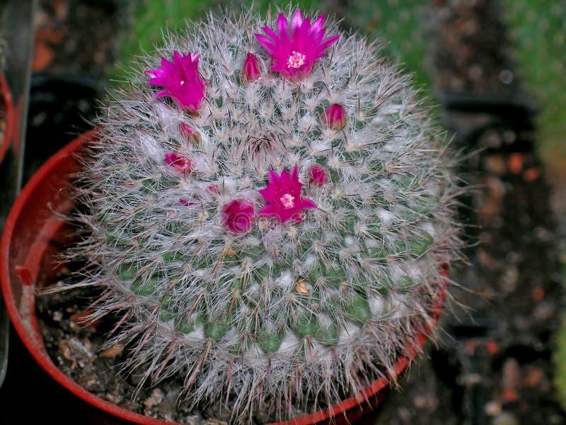 Download Cactus en fleur photo stock. Image du pointu, couleur - 45353094