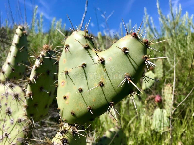 Cactus en forme de coeur en Crystal Cove State Park photos libres de droits