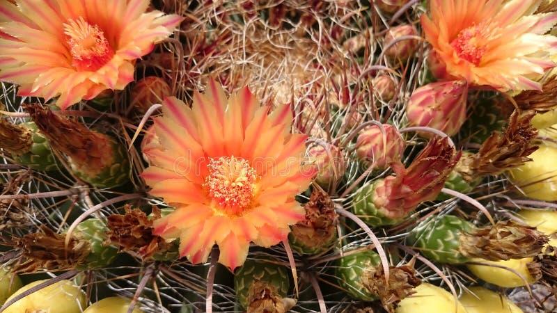Cactus en la floración fotos de archivo libres de regalías