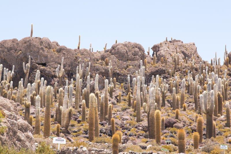 Cactus en la isla de Incahuasi, Salar de Uyuni, Bolivia fotografía de archivo