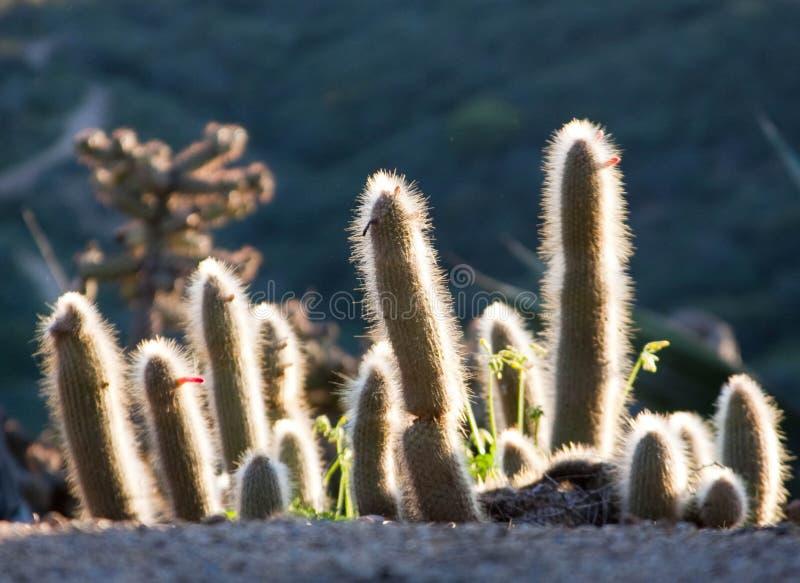 Cactus en la salida del sol fotografía de archivo libre de regalías