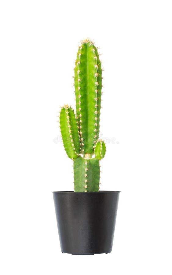 Cactus en maceta foto de archivo libre de regalías