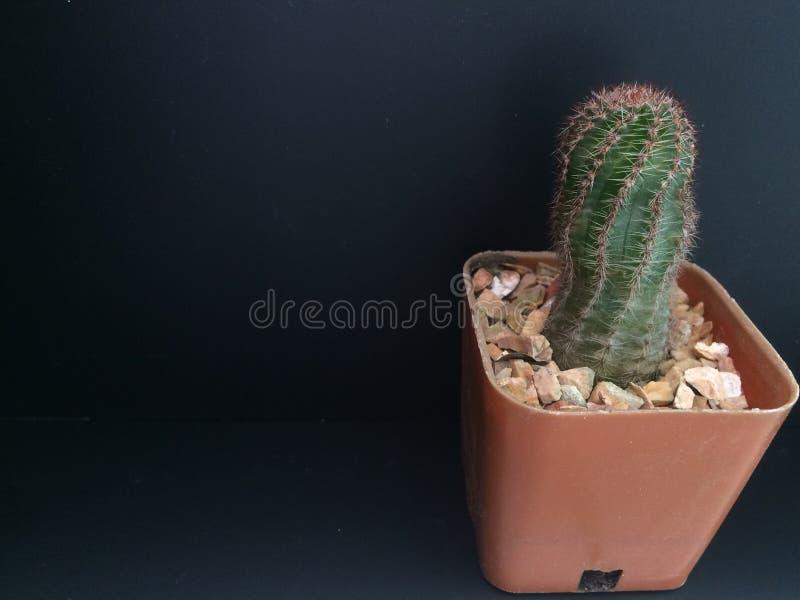 Cactus en pote marrón en fondo negro imagenes de archivo