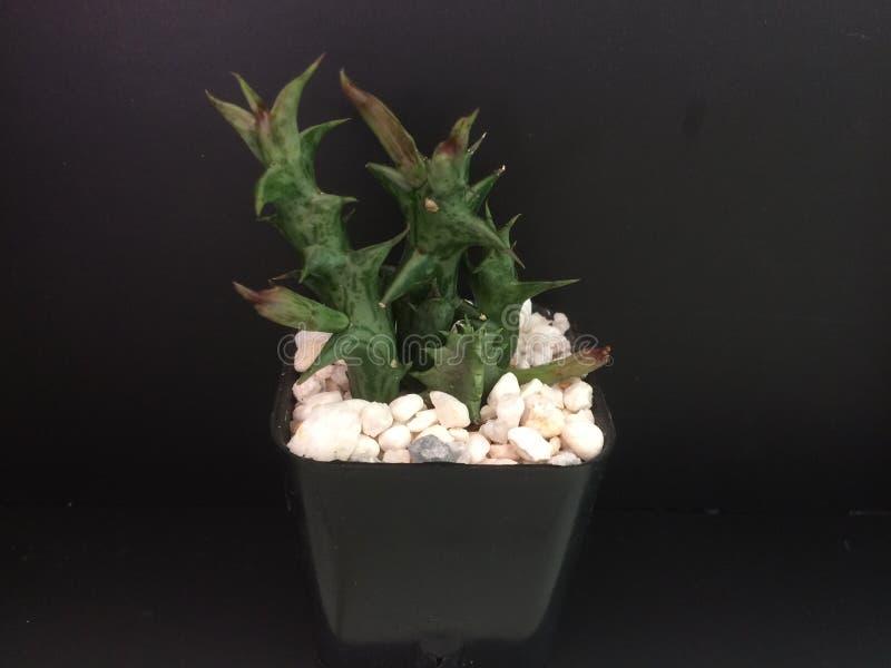 Cactus en pote negro en fondo negro imagen de archivo