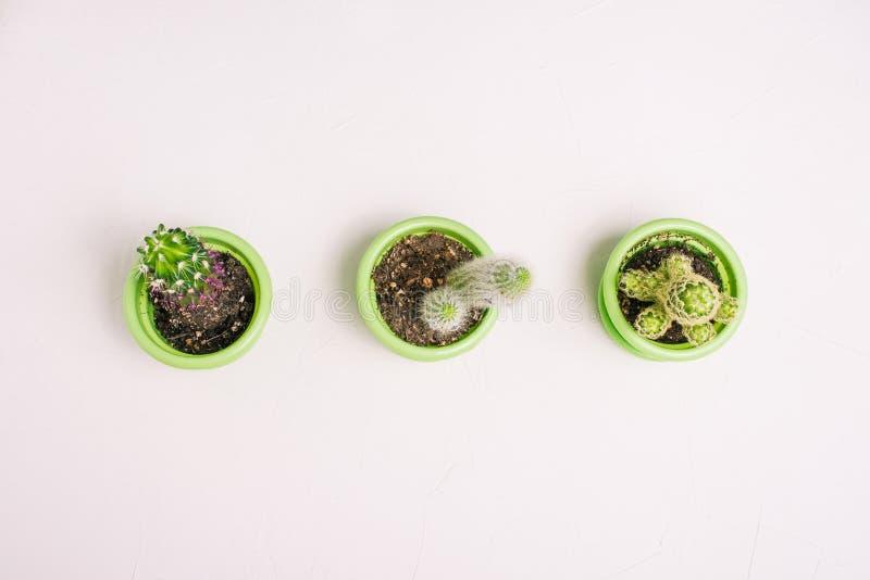 Cactus en potes en un fondo blanco Tres plantas con los picores se colocan en fila en una línea Diversos cactus del color verde fotografía de archivo libre de regalías