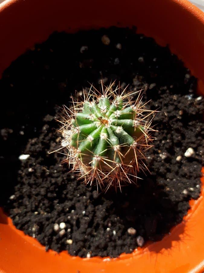 Cactus en un pote fotos de archivo libres de regalías