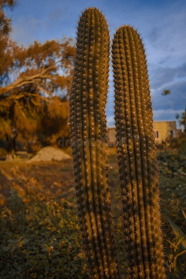 Cactus en una puesta del sol anaranjada foto de archivo libre de regalías