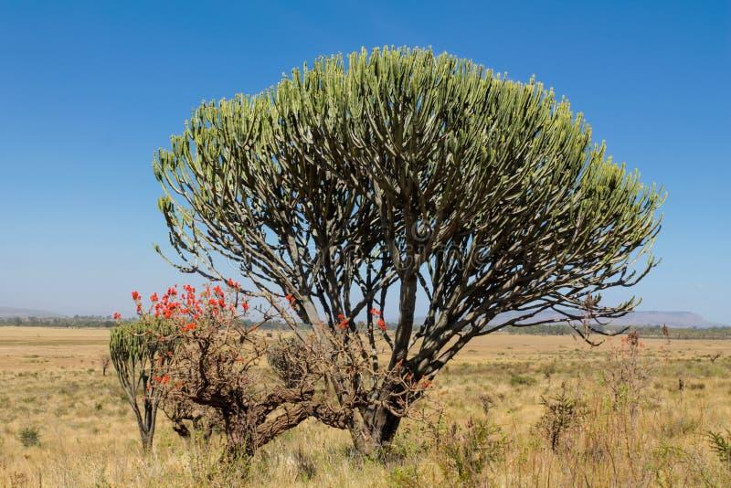 Cactus enorme africano en arbusto de la sabana fotografía de archivo