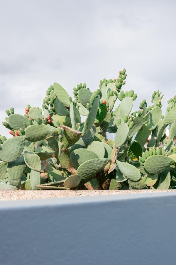 Cactus enorme de la fruta en el patio trasero foto de archivo libre de regalías