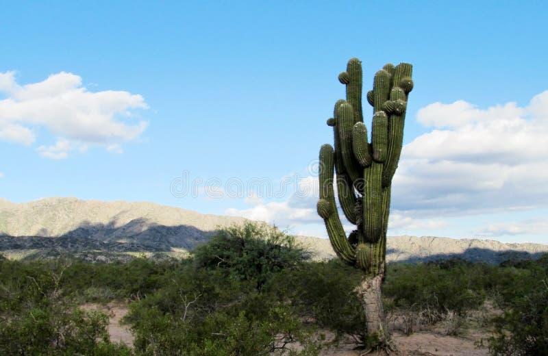 Cactus enorme nel campo fotografie stock libere da diritti
