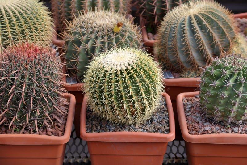 Cactus esotico raro fotografia stock libera da diritti