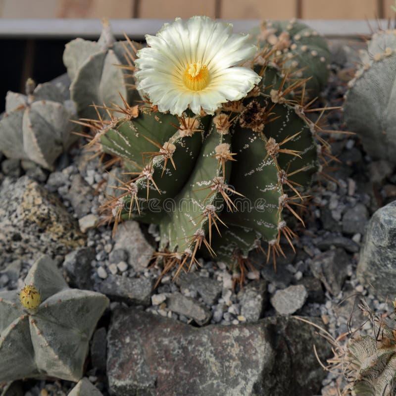 Cactus esotico raro immagine stock libera da diritti