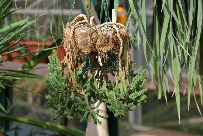 Cactus esotico raro immagini stock libere da diritti