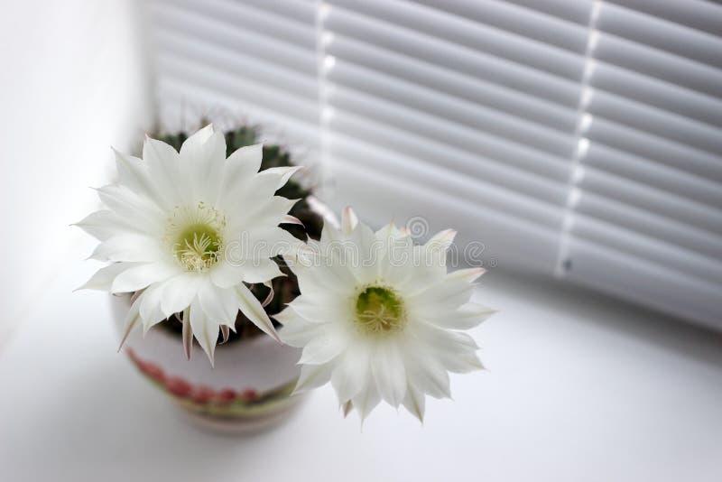 Cactus espinoso floreciente de las flores blancas en un travesaño blanco de la ventana foto de archivo libre de regalías