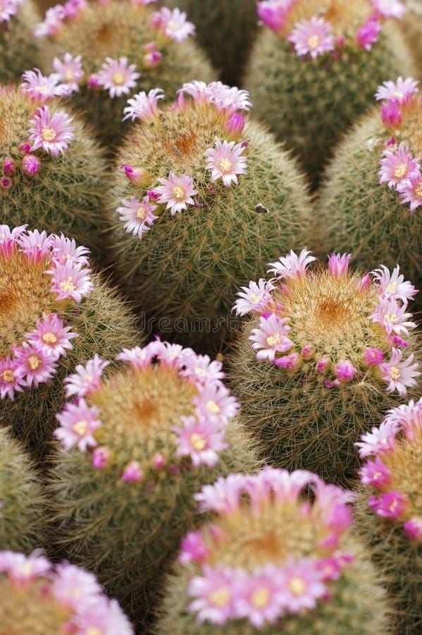 Cactus et cactus de fleur photos libres de droits