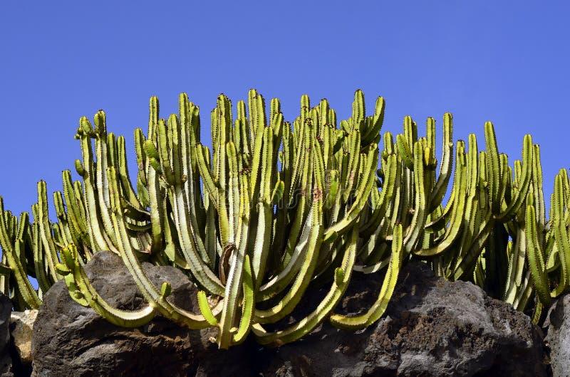 Cactus Euphorbia canariensis royalty free stock image
