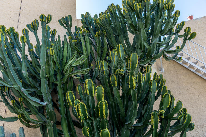 Cactus Euphorbia canariensis on the Canary Island royalty free stock photo