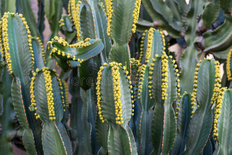 Cactus Euphorbia canariensis on the Canary Island royalty free stock image