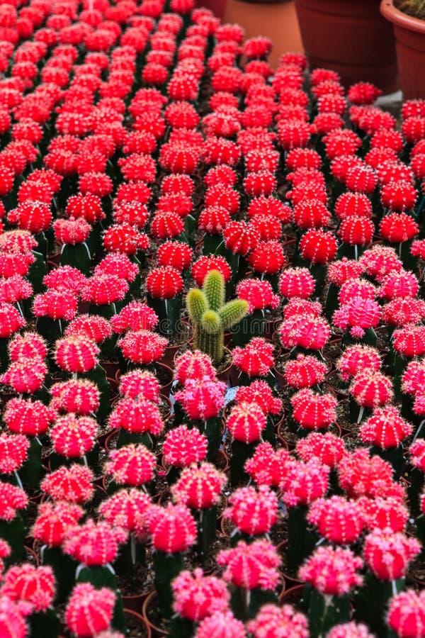 Cactus, extreme closeup. At Cameron highlands, Malaysia royalty free stock image