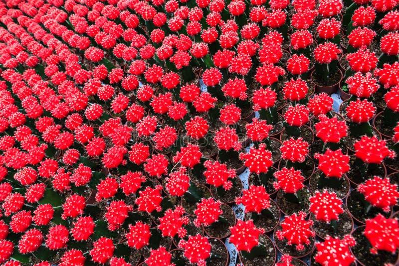 Cactus, extreme closeup. At Cameron highlands, Malaysia royalty free stock photography