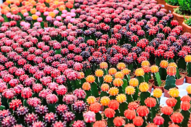 Cactus, extreme closeup. At Cameron highlands, Malaysia stock photography