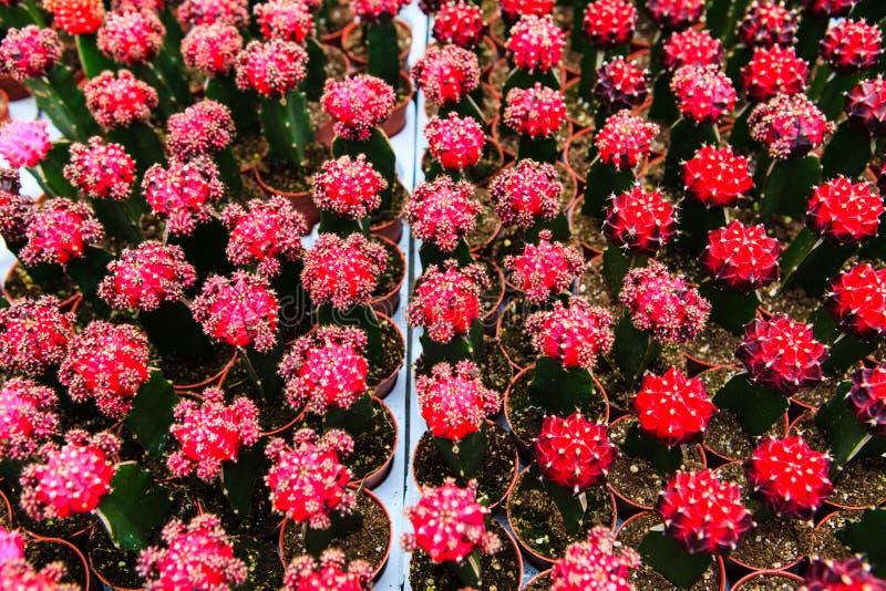 Cactus, extreme closeup. At Cameron highlands, Malaysia stock image