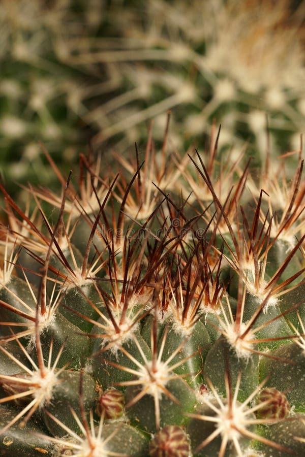 Cactus-Ferocactus del gancho de pescados fotografía de archivo