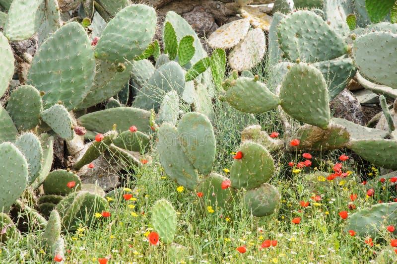 Cactus ficus-indica d'opuntia dedans dans un pré de flo rouge et jaune image libre de droits