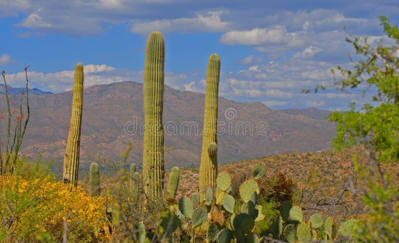 Cactus in fioritura immagine stock