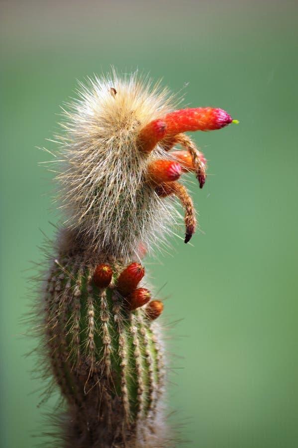 Cactus in fioritura con le conseguenze rosse immagini stock libere da diritti