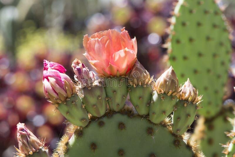 Cactus fleurissant d'Aciculata d'opuntia, Chenille Pricklypear images libres de droits