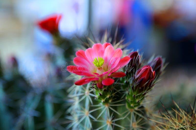 Cactus floreciente fotografía de archivo libre de regalías