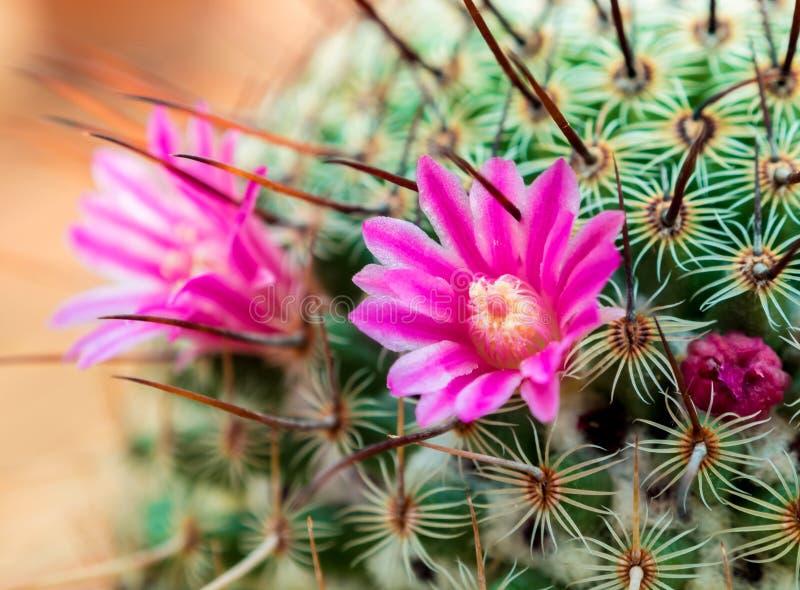 Cactus floreciente con las flores rosadas hermosas del cactus foto de archivo