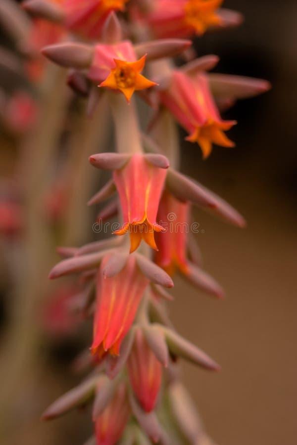 Cactus floreciente del desierto imágenes de archivo libres de regalías