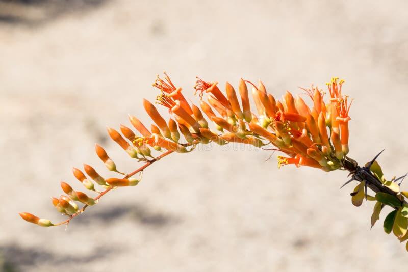 Cactus floreciente del Ocotillo, AZ, los E.E.U.U. imagen de archivo