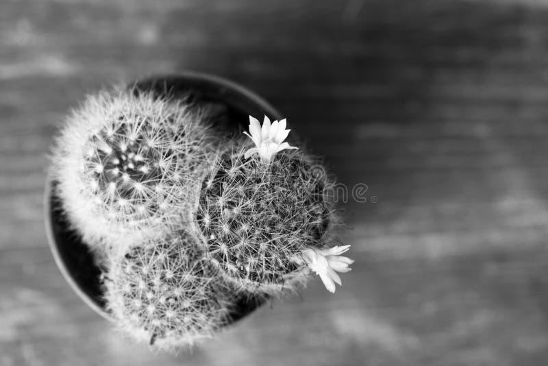 Cactus floreciente en blanco y negro imagenes de archivo