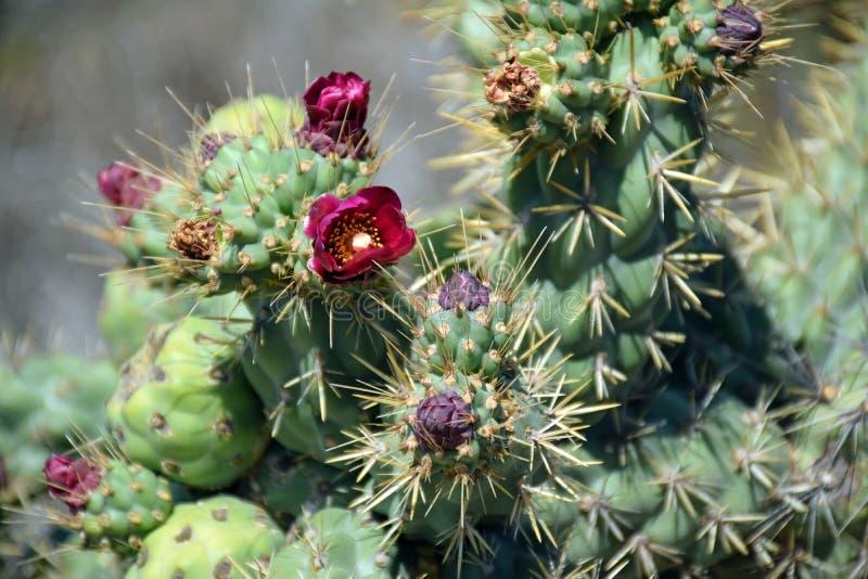 Cactus floreciente en Dana Point Headland Conservation Preserve fotografía de archivo