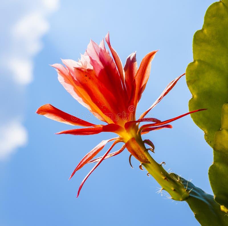Cactus floreciente hermoso detalladamente fotografía de archivo libre de regalías