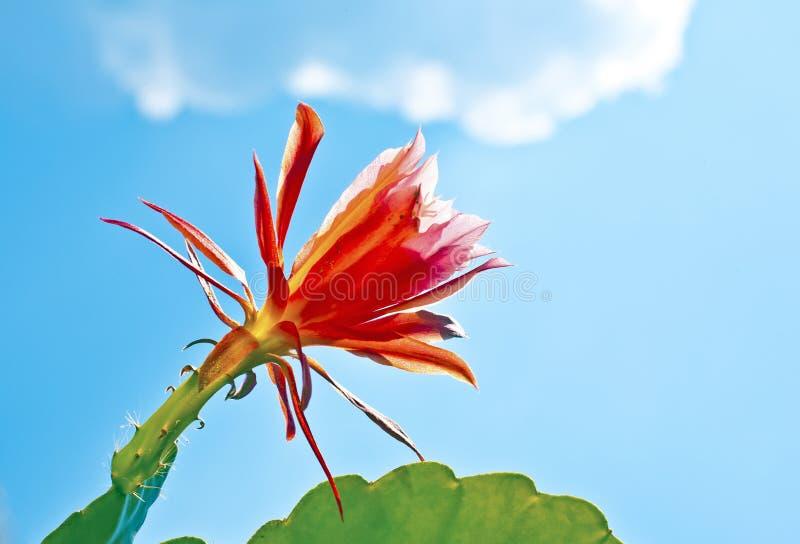 Cactus floreciente hermoso detalladamente foto de archivo libre de regalías
