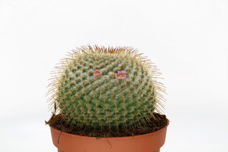 Cactus floreciente rosado aislado en el fondo blanco fotografía de archivo libre de regalías