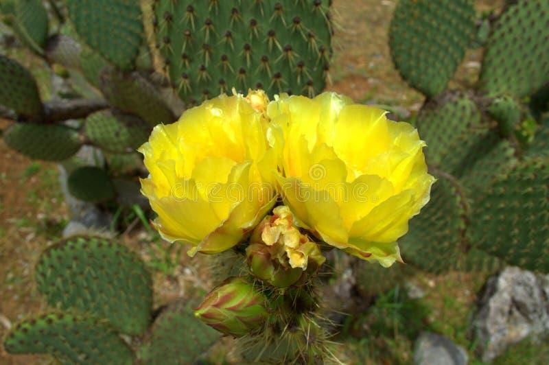 Cactus florecientes amarillos imagenes de archivo