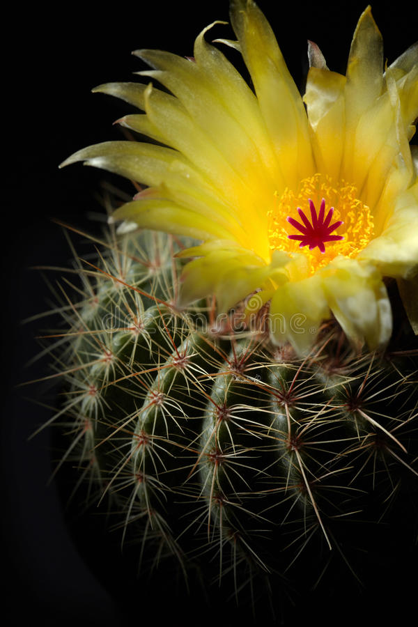 Cactus flower stock photos
