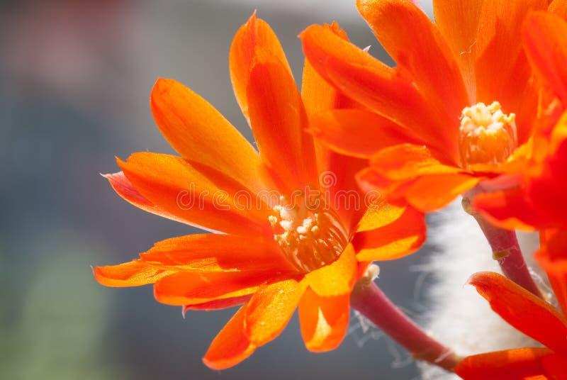 Cactus flower. Indoor cactus ( es cacti) flower spring blossom. Low DOF royalty free stock photo