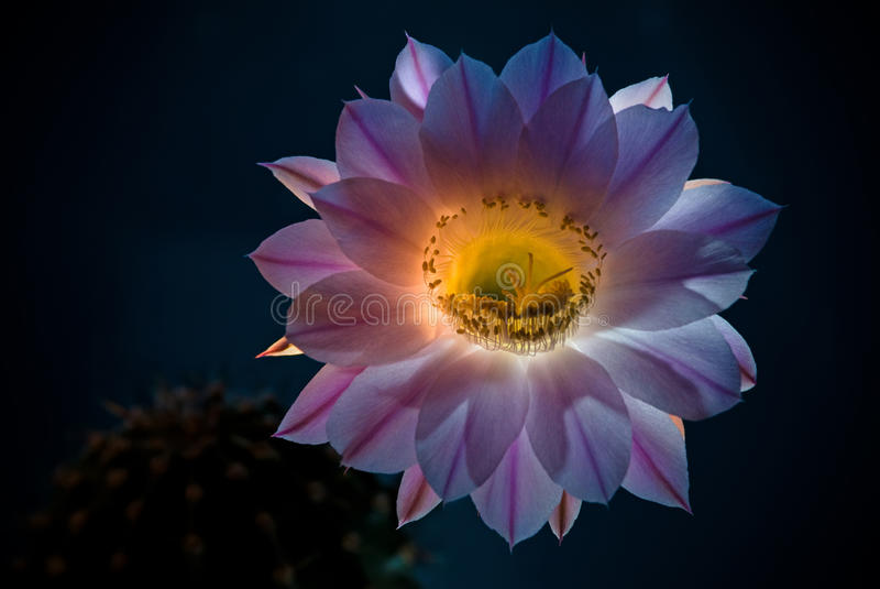 The cactus flower stock images