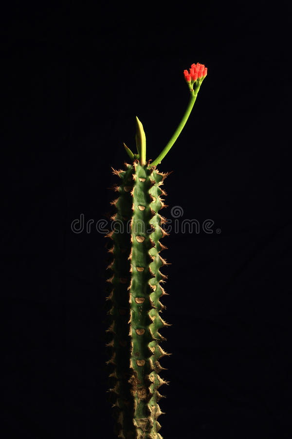 Download Cactus flower stock photo. Image of desert, growth, spiky - 24425290