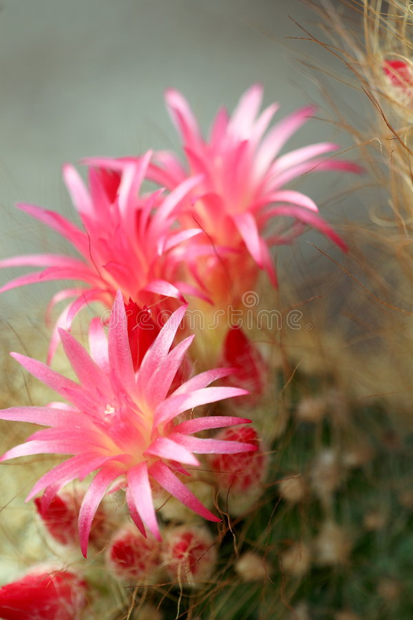 Cactus flower. A cactus with red flower stock photos