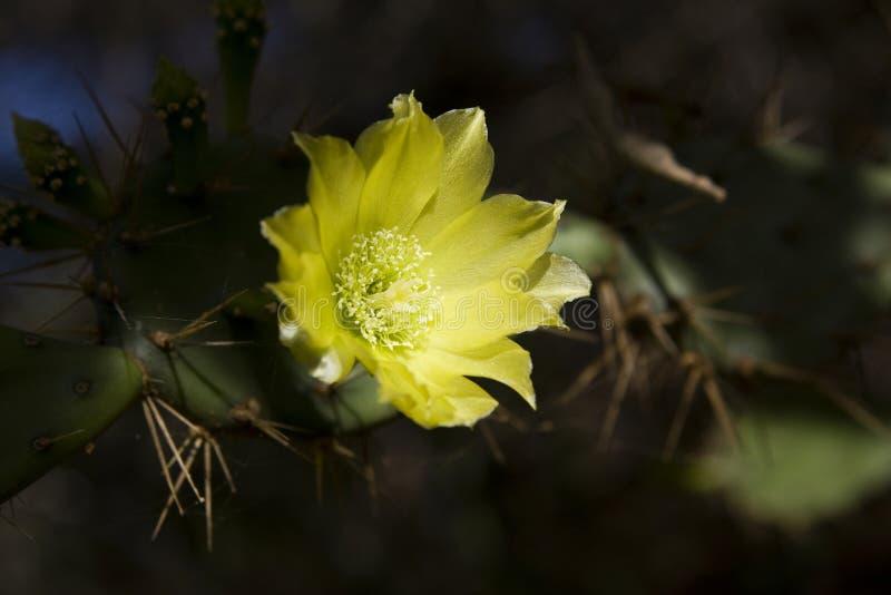 Download Cactus flower stock photo. Image of dark, bonaire, flora - 5173566